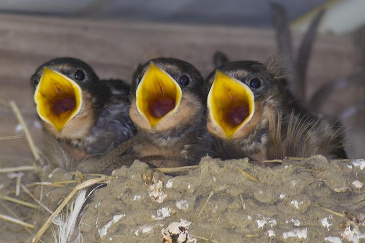 Barn Swallows | Ramblings